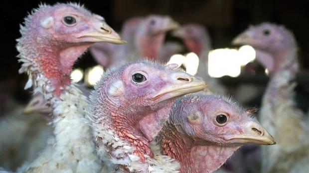 An outbreak of a bird flu virus was found on a turkey farm near Woodstock, Ont. (Janet Hostetter/Associated Press)
